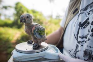 Nestling of Blue-fronted Amazon being weighed (Image: Victor Moriyama)