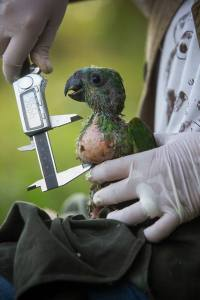 Glaucia measuring the crop of a nestling (Image: Victor Moriyama)