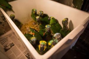 Nestlings seized on October 2014, in Bataguassu/MS. (Image: Victor Moriyama)